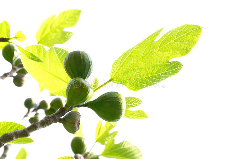 Download Fig tree stock image. Image of image, garden, bible, background - 10868337