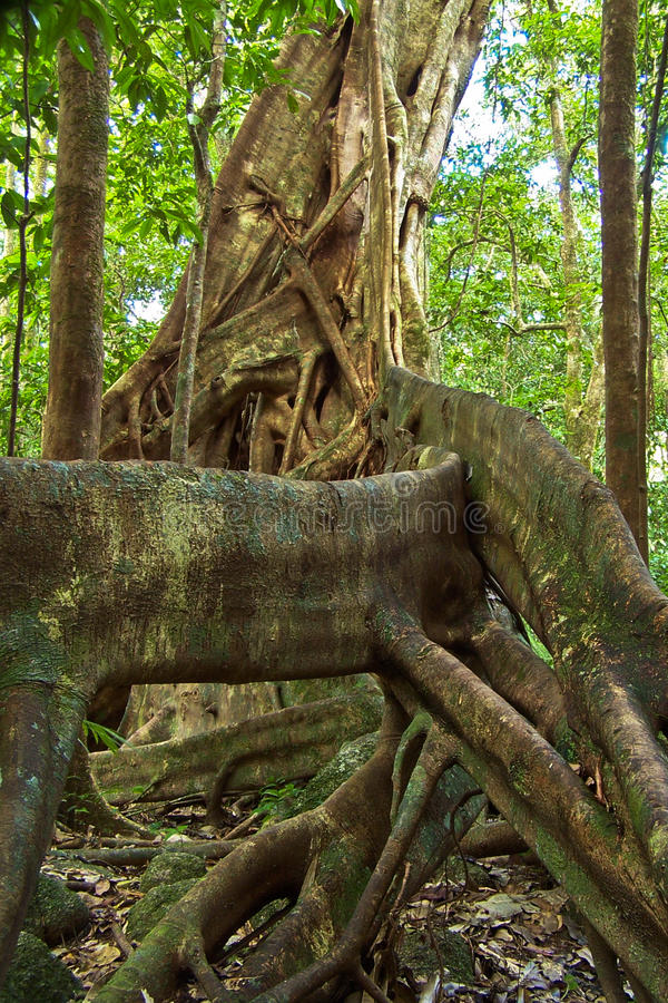 Fig tree. In cape tribulation. australia royalty free stock photo