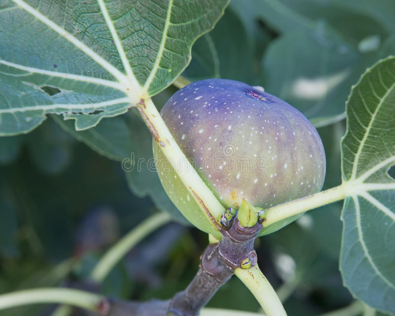 Fig on the Tree royalty free stock image