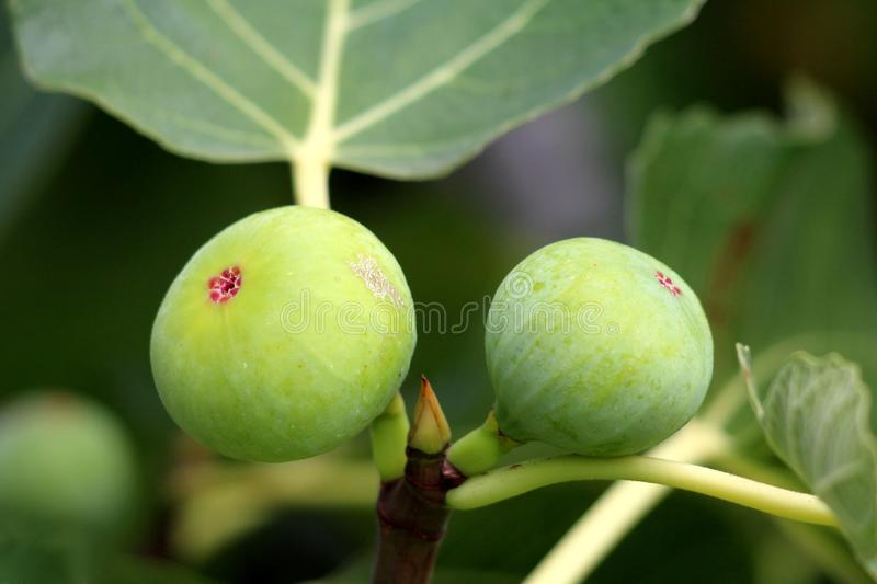 Fig tree or Ficus carica branches with two fresh light green figs in middle surrounded with large leaves stock photos