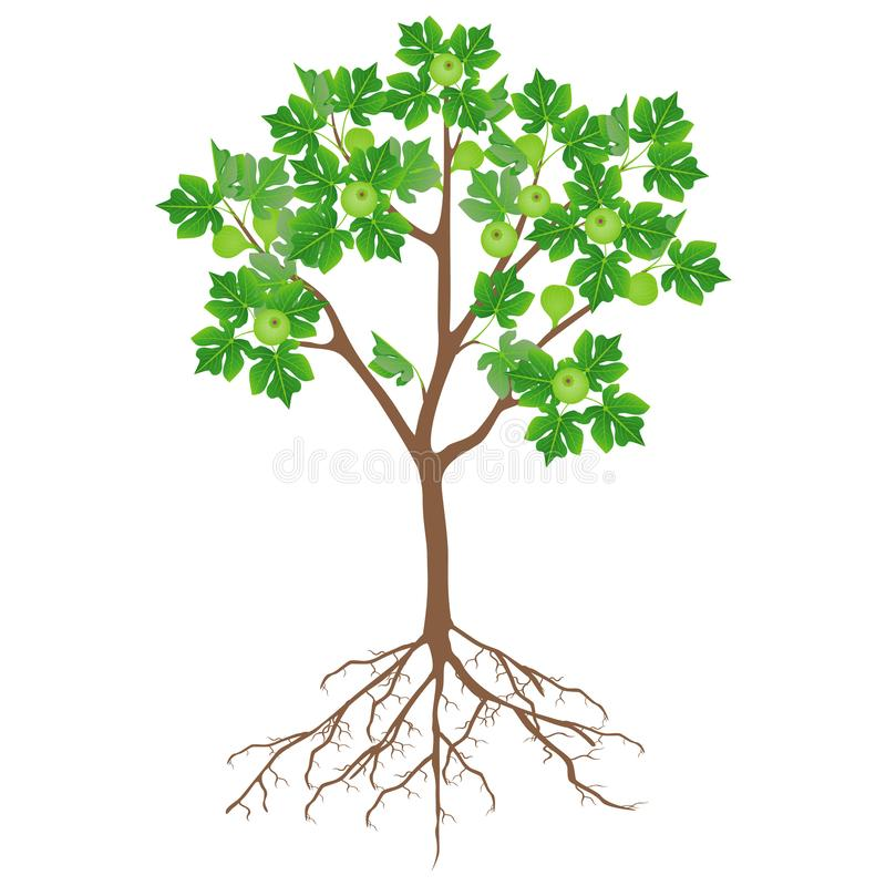 Fig tree with flowers and roots on a white background. stock illustration