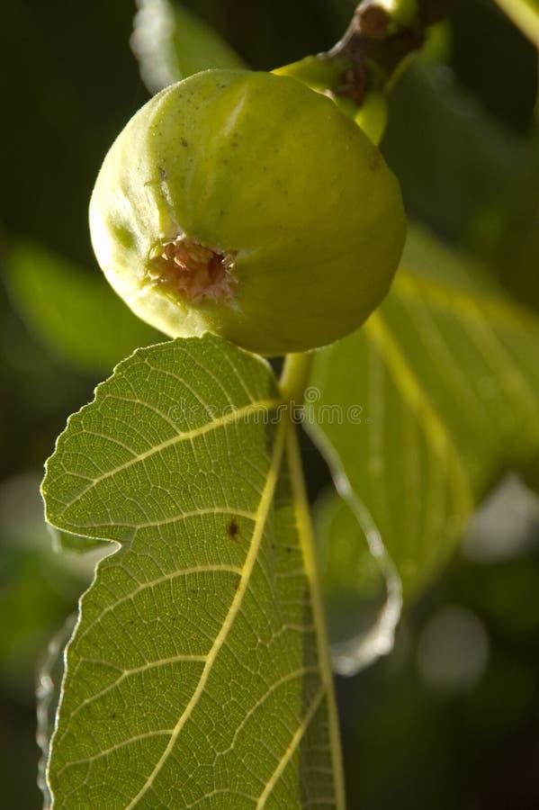 Download Fig On Tree stock image. Image of natural, leaf, fruit - 37893279
