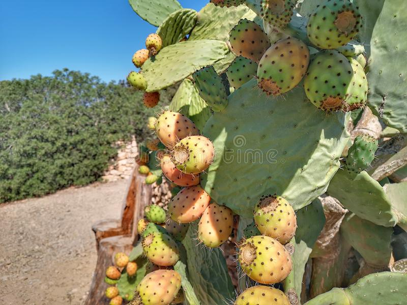 Fig tree with prickly pears in summer. Close up of Fig tree with prickly pears in Formentera stock photos
