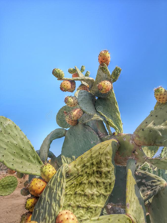 Fig tree with prickly pears in summer. With a blue sky anchor royalty free stock photography