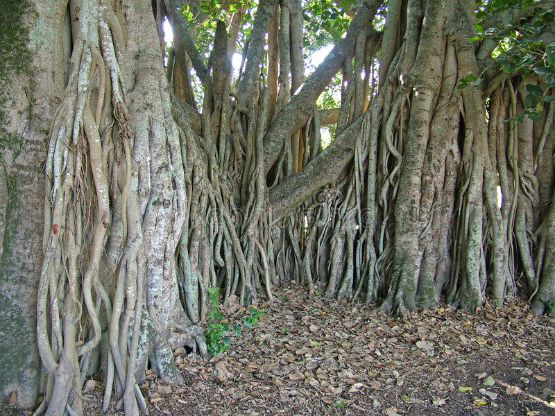 Fig tree roots stock photography