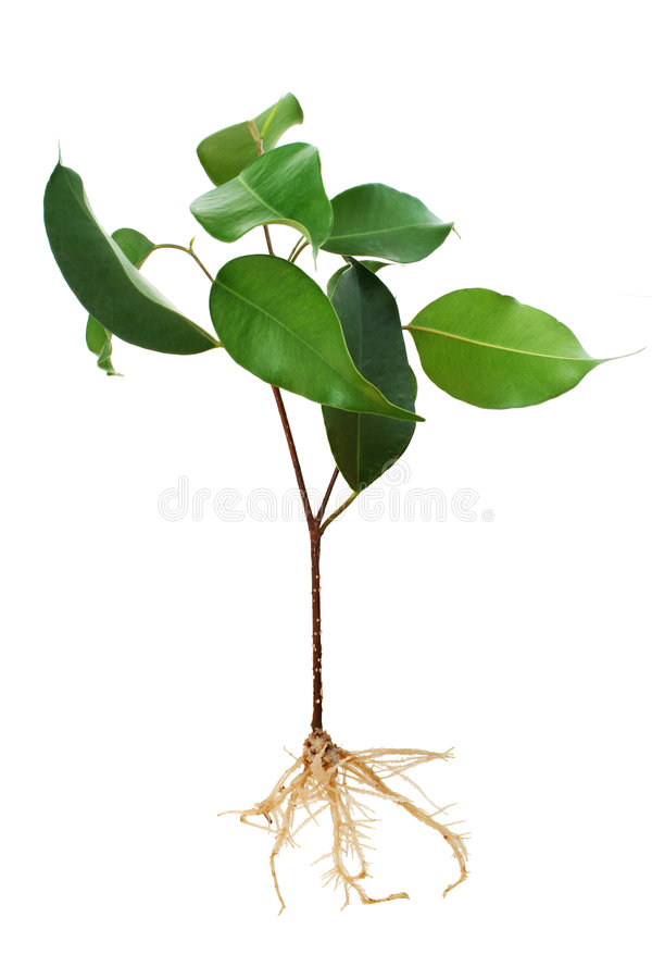 Free Fig Tree Seedling Royalty Free Stock Images - 2262379