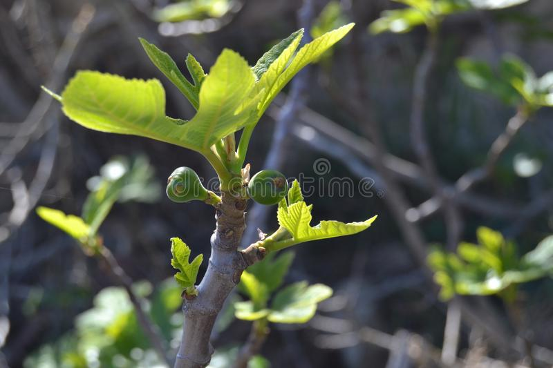 The fig tree in spring stock image