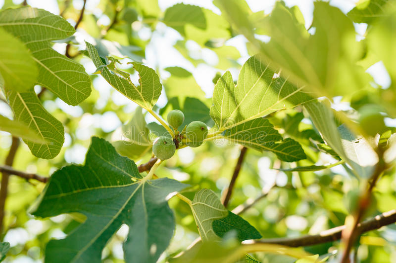Fig trees, small fruits. Ripening figs on tree. Fig trees, small fruits. Ripening figs on the tree royalty free stock photo