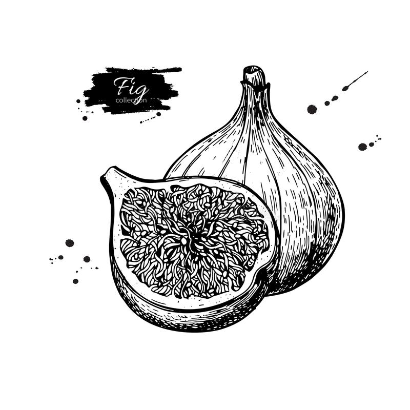 Fig vector drawing. Hand drawn fruit and sliced piece. Summer fo stock illustration