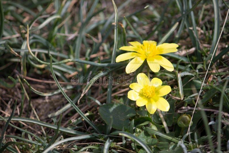 Figa jaskier (Ficaria verna) zdjęcie royalty free