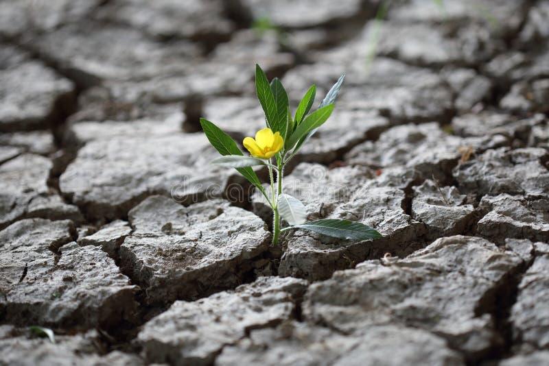 Fighint flourishing de la flor a través del suelo secado de la tierra imagenes de archivo