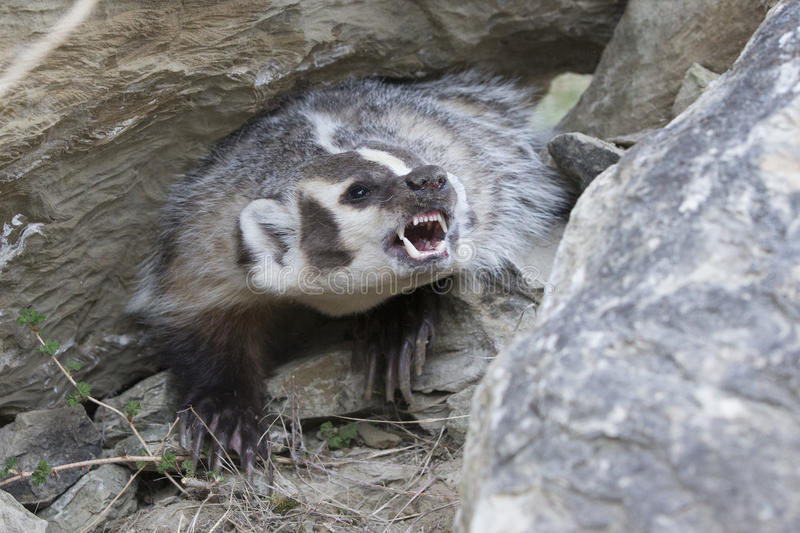 The fight is on with american badger. Badger ready to bite backed up in rock formation stock photos
