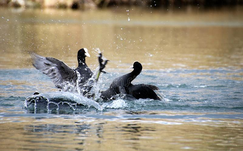 Fight of eurasian coots stock photo