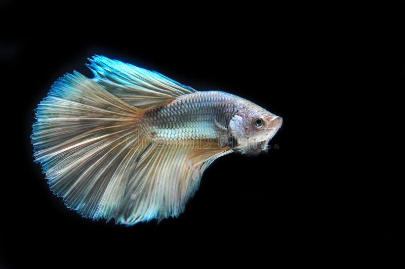 FIGHT FISH royalty free stock photo