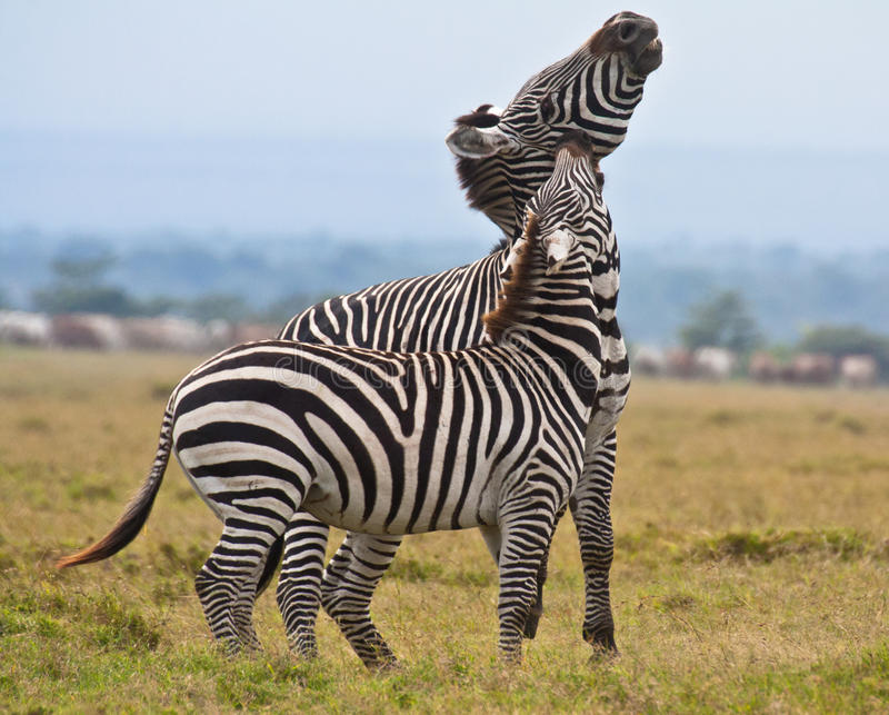 Fight between a plains zebra and a plains-Grevy`s zebra hybrid royalty free stock image