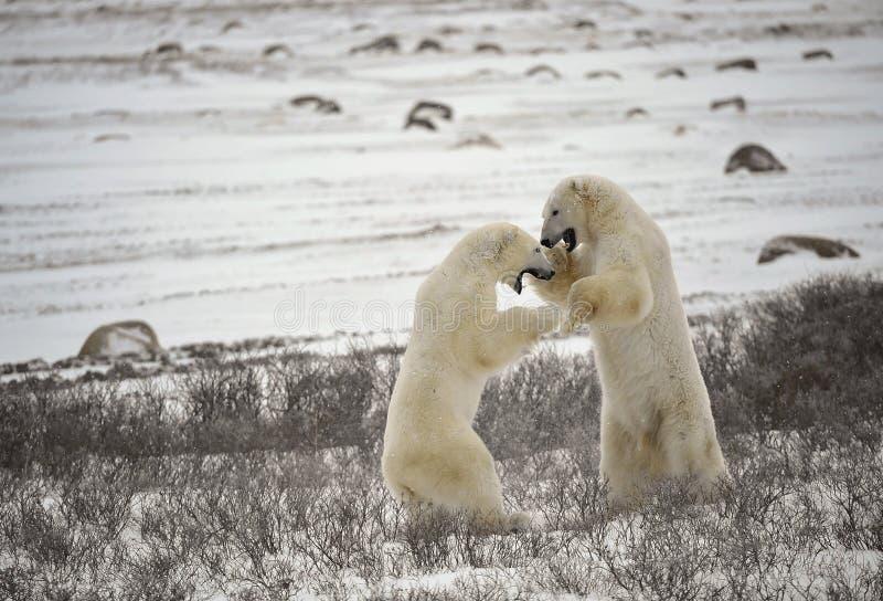 Fight of polar bears. 17 stock image