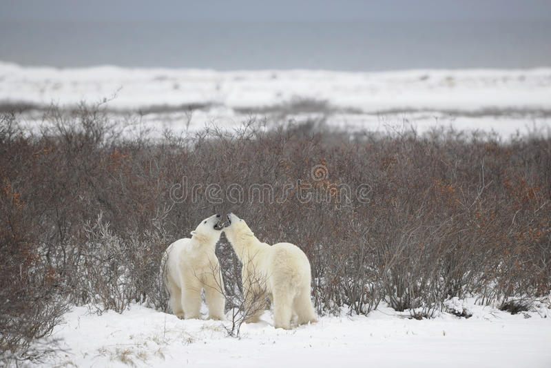 Fight of polar bears. 21 stock photo