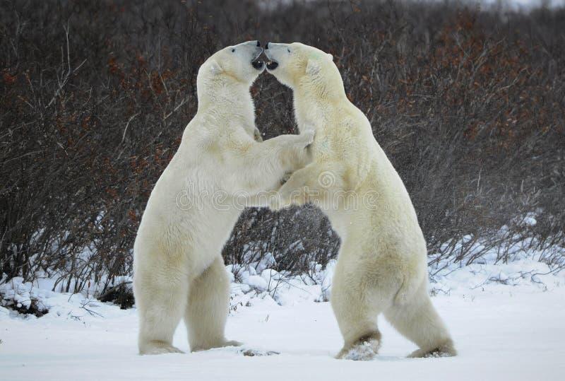 Fight of polar bears. stock photography