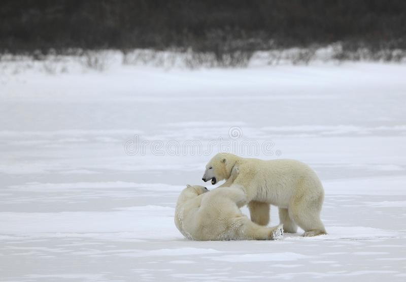 Fight of polar bears. Two polar bears fight. Tundra with undersized vegetation royalty free stock image
