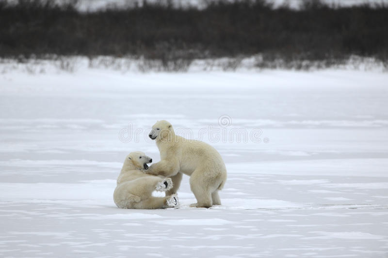 Fight of polar bears. 22. Fight of polar bears. Two polar bears fight. Tundra with undersized vegetation. Snow royalty free stock photography