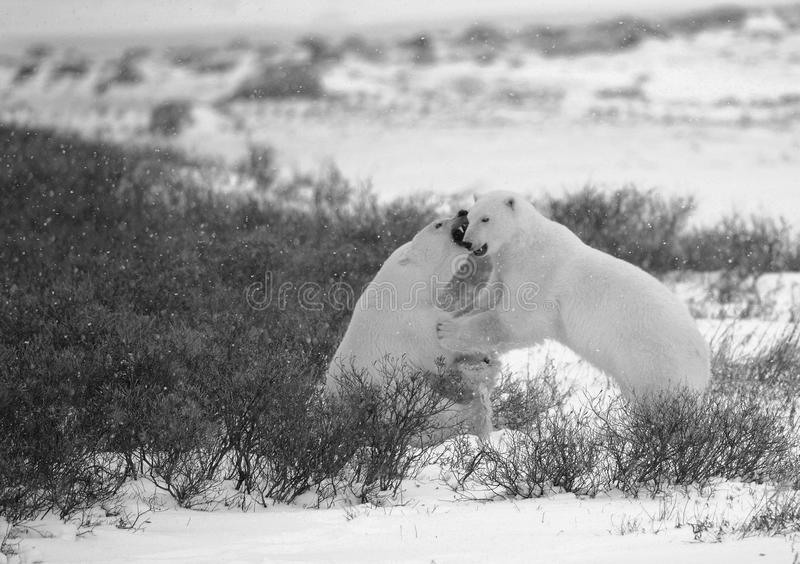 Fight of polar bears. 3 stock image