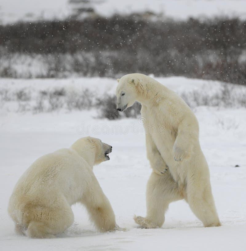 Fight of polar bears. 5 stock photos