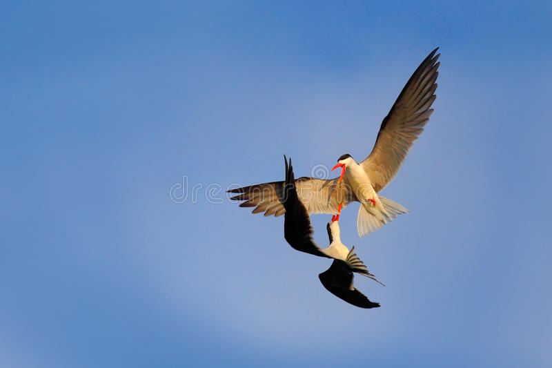 Fight on the sky. Two beautiful black and white bird with red bill fighting on blue sky. Duel on the air. African Skimmer royalty free stock images