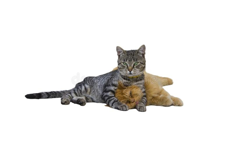 Two cats are hugging royalty free stock images