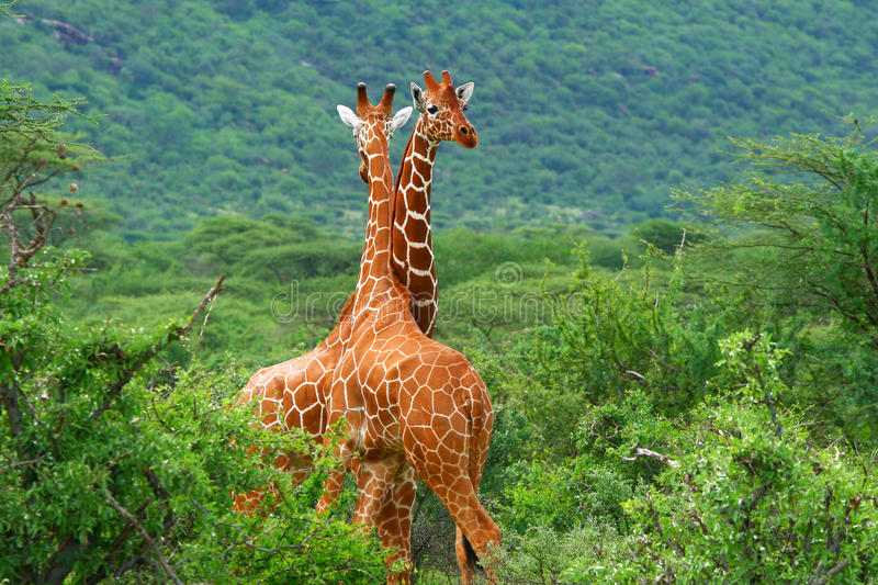 Fight of two giraffes stock images
