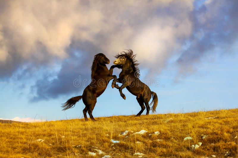 Fight two wild horses at the top of the hill. With the dark clouds in the background royalty free stock photos