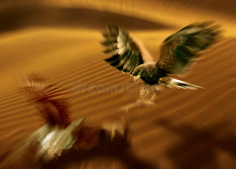 Fighting. Falcon in the desert stock photography