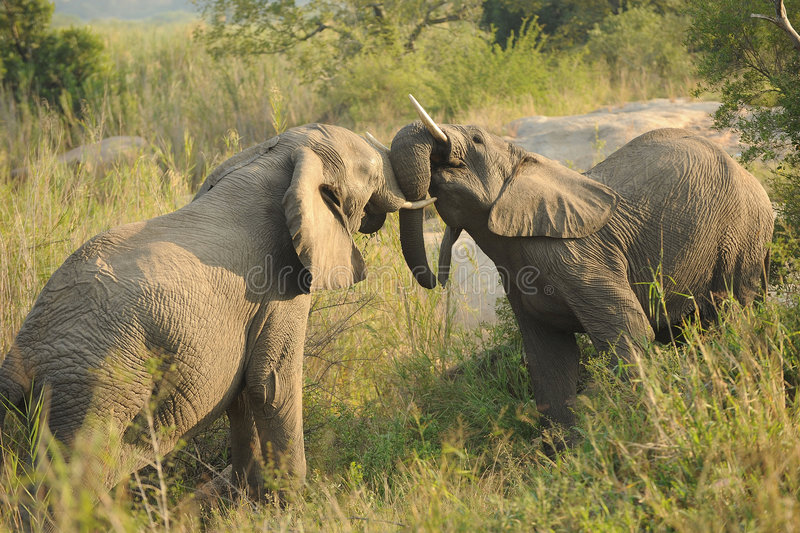 Fighting African Elephants. Close up of two African Elephants fighting in grassland stock photos