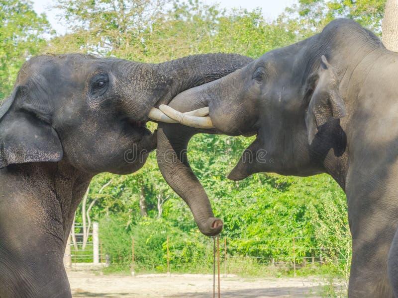 Fighting Asian elephant bulls stock photo