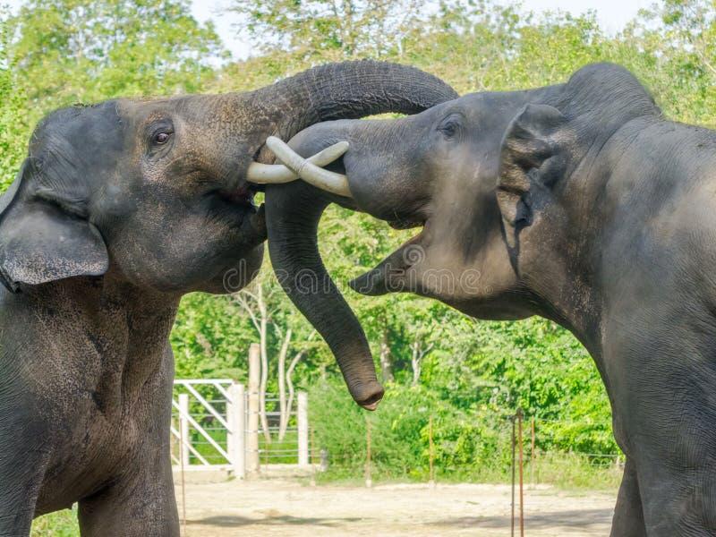 Fighting Asian elephant bulls royalty free stock photography