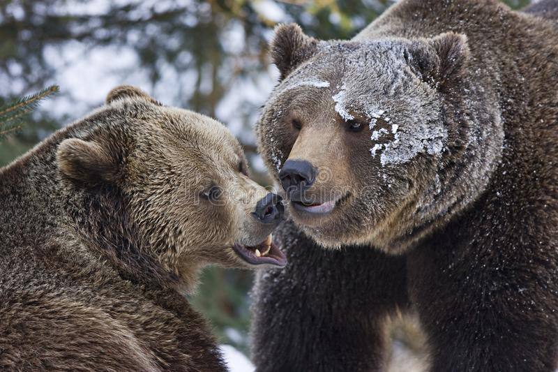 Download Fighting bears stock photo. Image of killer, furry, hate - 21552956