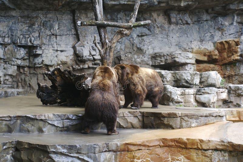 Fighting Bears royalty free stock image