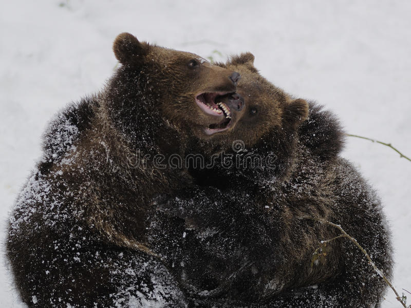 Download Fighting Bears ( Ursus Arctos ) Stock Image - Image: 18427681