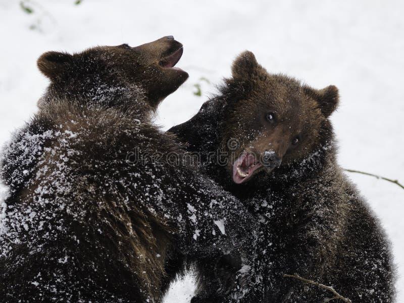 Fighting Bears ( Ursus arctos ) stock photography