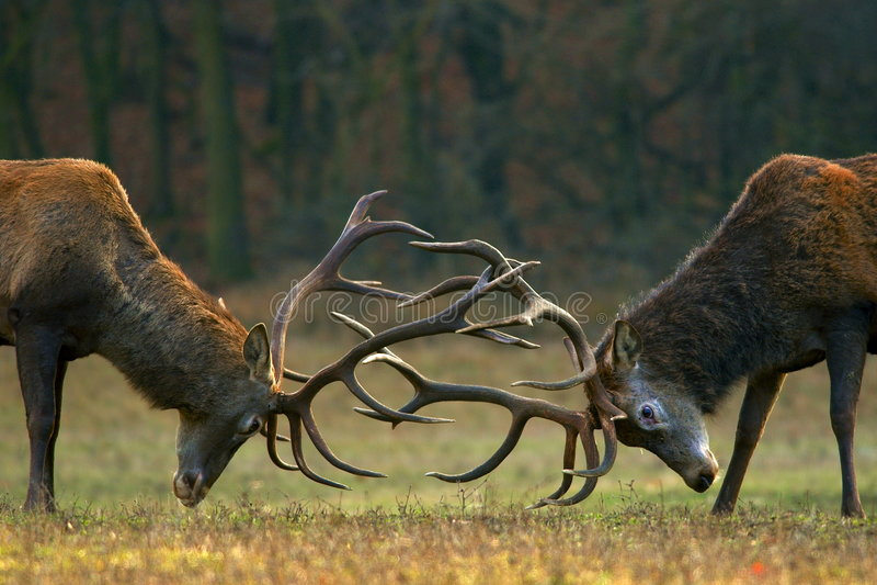 Fighting bucks royalty free stock photo