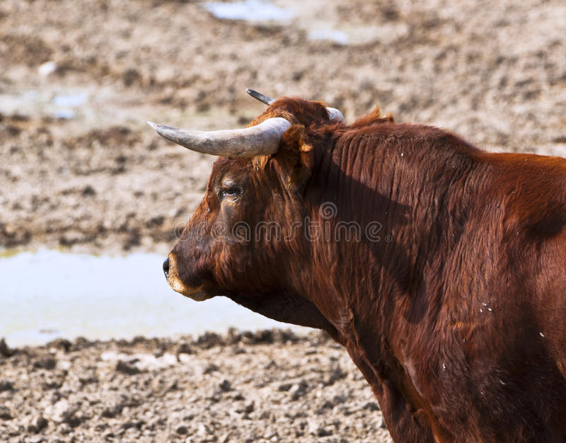 Download Fighting Bull Stock Photo - Image: 25500490