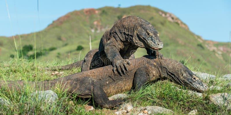 The Fighting Comodo dragon (Varanus komodoensis) for domination. royalty free stock photos