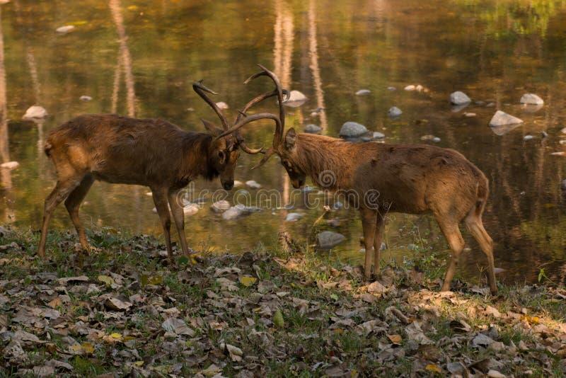 Fighting deers stock photos