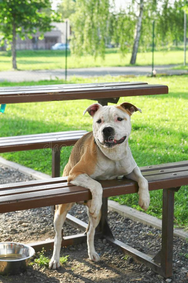Fighting dog is leaning on the bench stock image