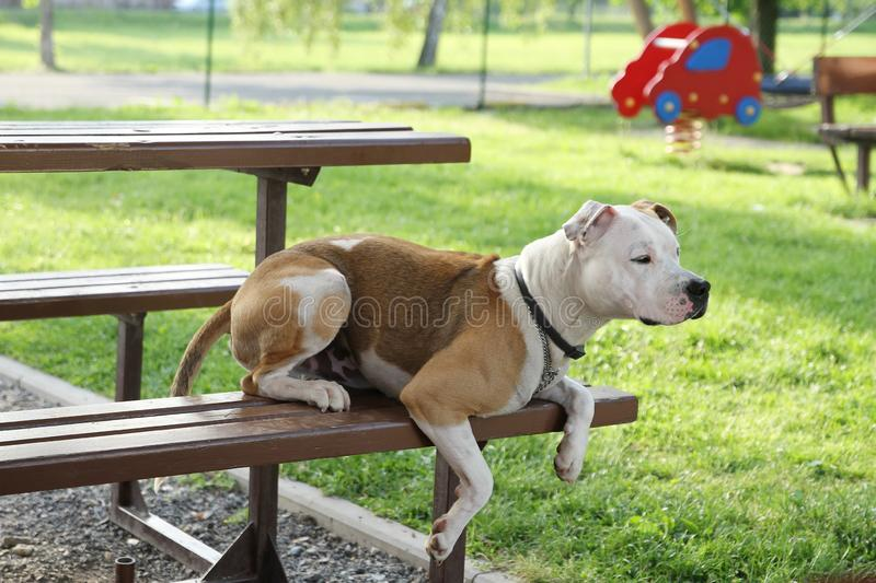 Fighting dog lying on a bench royalty free stock photos