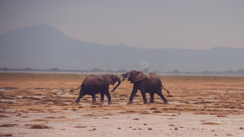 Fighting elephants royalty free stock images