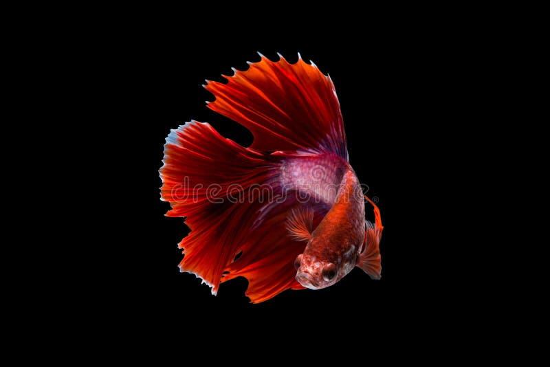 Fighting fish stock photos