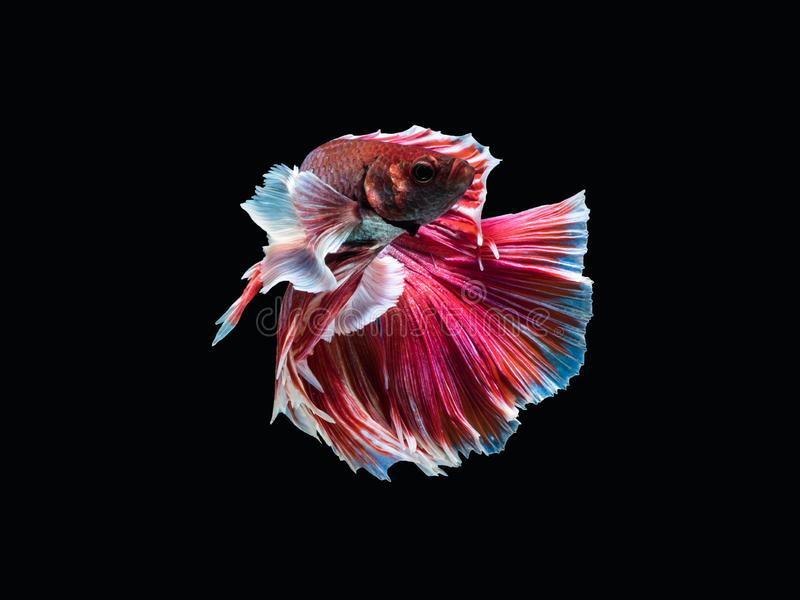 Fighting fish `Fancy Halfmoon Betta `, stock images
