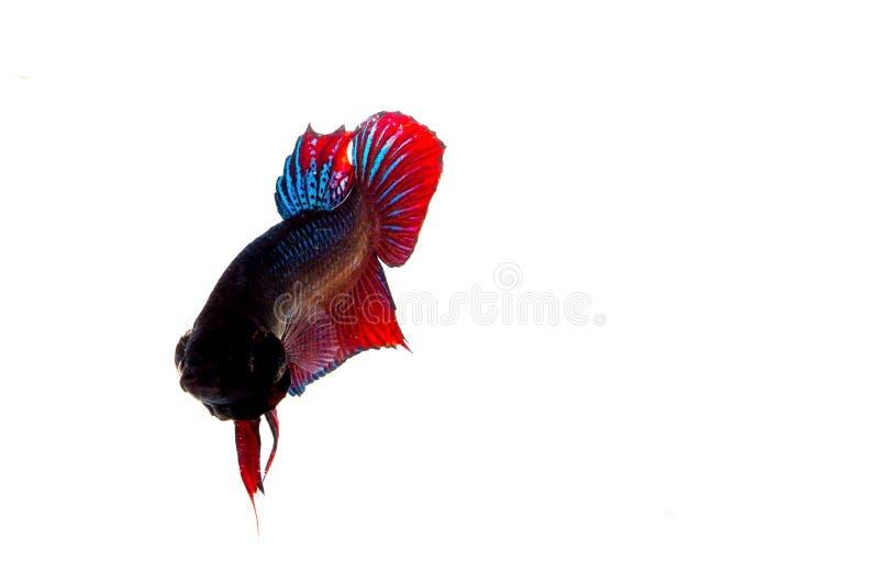 Download Fighting fish stock photo. Image of stream, freshness - 43245130