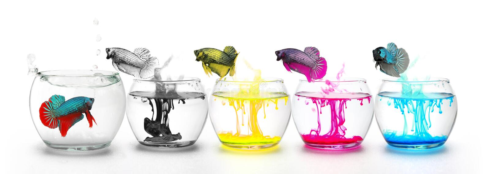 Fighting Fishs jumping through four Primary colors. They are Fighting Fish jumping through four Primary colors CMYK, White Background royalty free stock photo