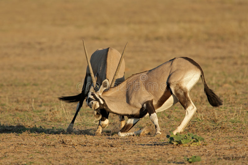 Fighting Gemsbok royalty free stock photo
